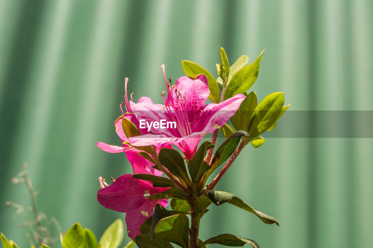 flowering plant, flower, plant, fragility, vulnerability, freshness, beauty in nature, pink color, close-up, growth, petal, focus on foreground, flower head, inflorescence, nature, day, green color, no people, plant part, leaf, outdoors, pollen, sepal