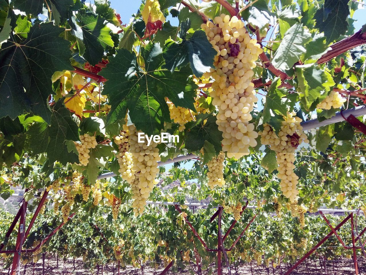 plant, growth, food and drink, tree, leaf, healthy eating, plant part, no people, food, freshness, nature, day, beauty in nature, fruit, green color, close-up, flowering plant, hanging, outdoors, flower, ripe