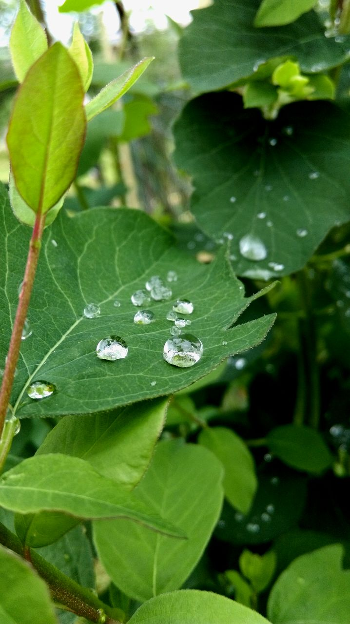 leaf, drop, green color, growth, water, nature, wet, plant, raindrop, freshness, day, close-up, outdoors, fragility, beauty in nature, no people, periwinkle