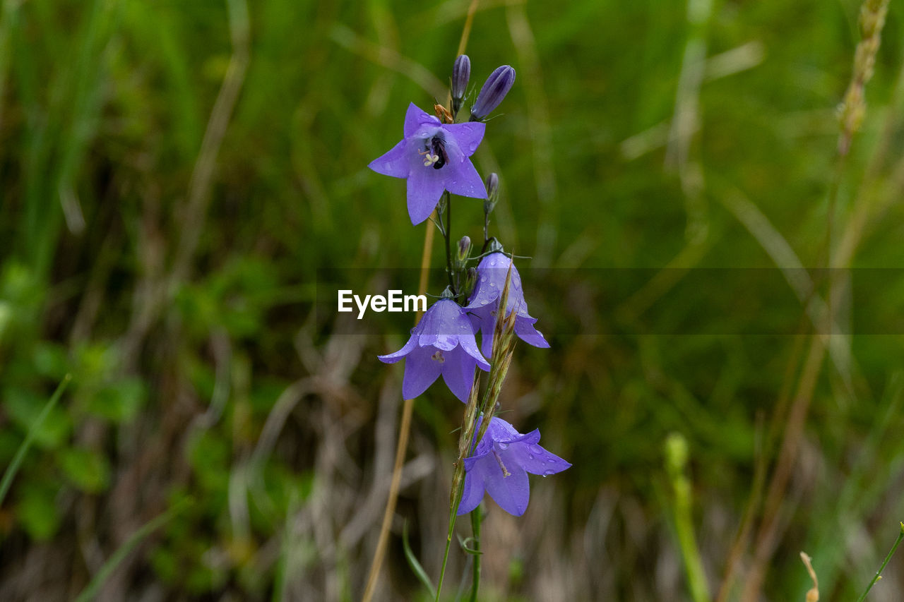 flowering plant, plant, flower, purple, petal, vulnerability, fragility, freshness, beauty in nature, close-up, inflorescence, growth, flower head, nature, no people, day, focus on foreground, blue, field, selective focus, iris - plant