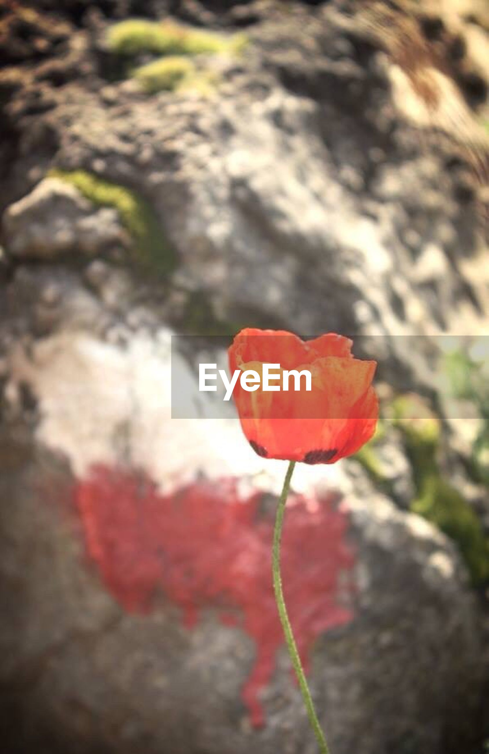 flower, fragility, petal, red, freshness, flower head, close-up, growth, beauty in nature, focus on foreground, poppy, nature, in bloom, springtime, blossom, vibrant color, day, botany, blooming, single flower, outdoors, bloom, tranquility, garden, no people, red color, growing