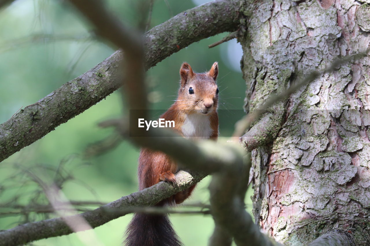 tree, animal wildlife, animal themes, one animal, animal, plant, animals in the wild, rodent, mammal, squirrel, tree trunk, trunk, branch, vertebrate, nature, day, no people, selective focus, focus on foreground, close-up, outdoors