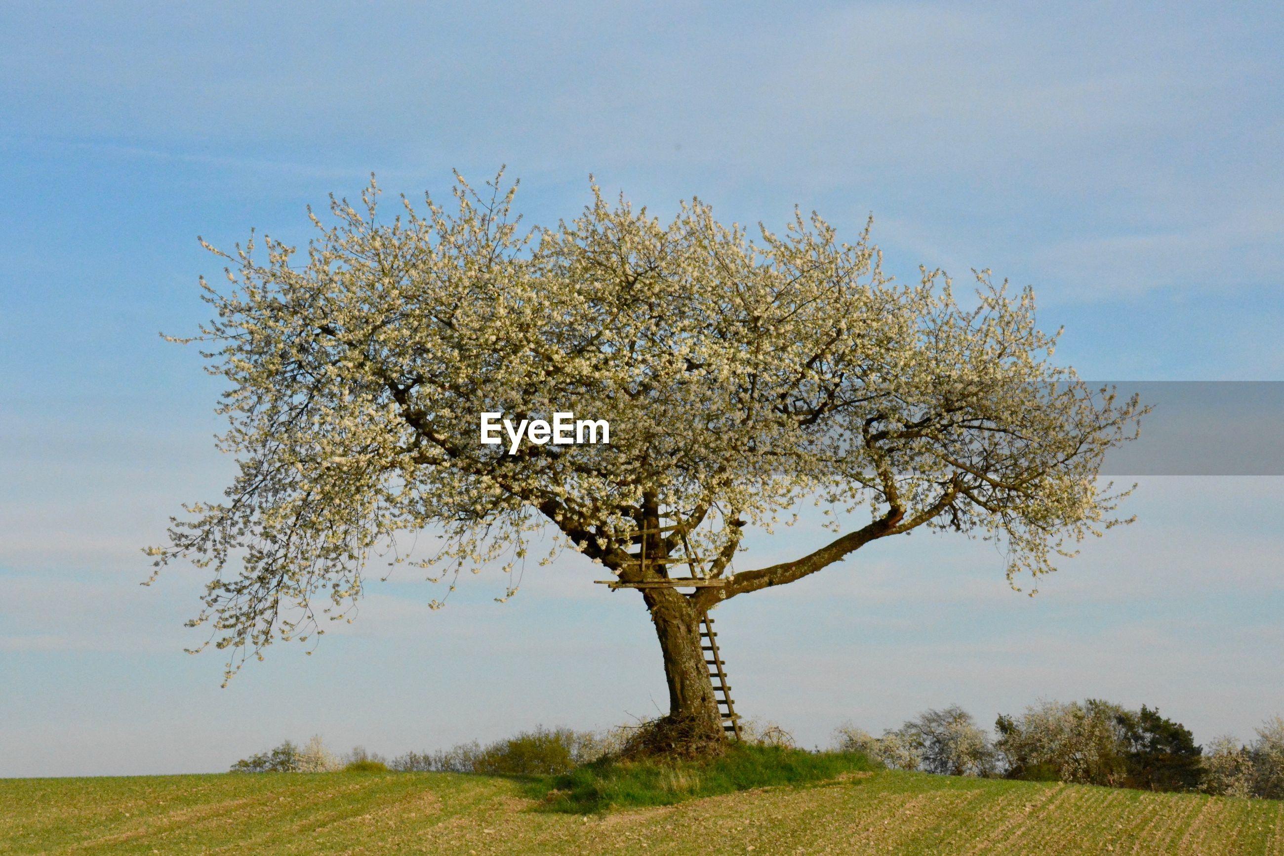 CHERRY BLOSSOM TREE ON FIELD