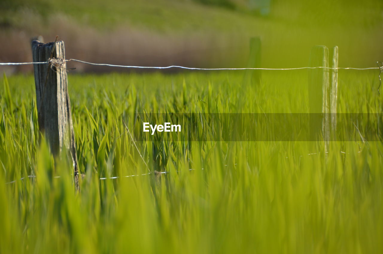 green color, no people, nature, grass, day, outdoors, growth, beauty in nature, drying, freshness, close-up