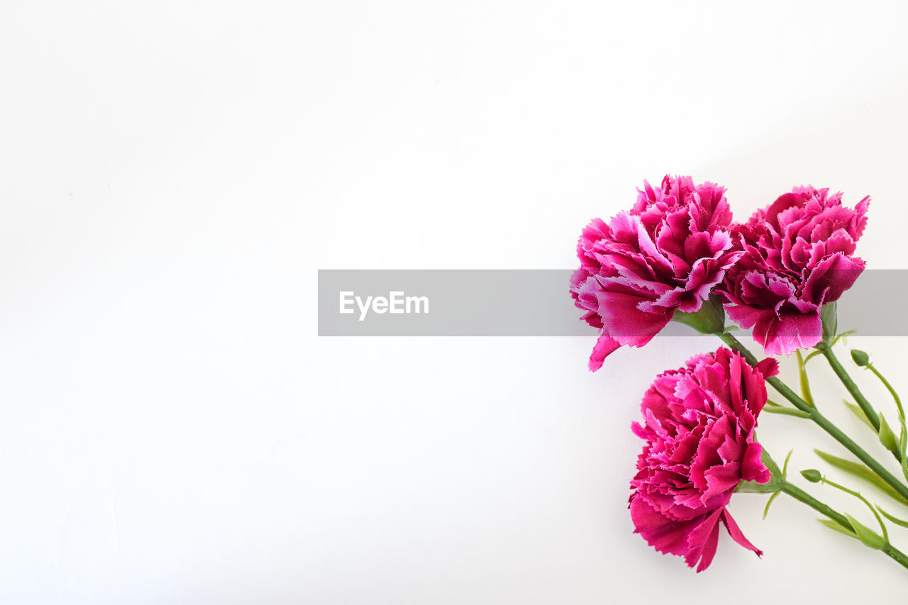 flowering plant, flower, vulnerability, copy space, studio shot, fragility, beauty in nature, plant, white background, freshness, petal, inflorescence, flower head, close-up, pink color, indoors, nature, cut out, no people, purple, flower arrangement