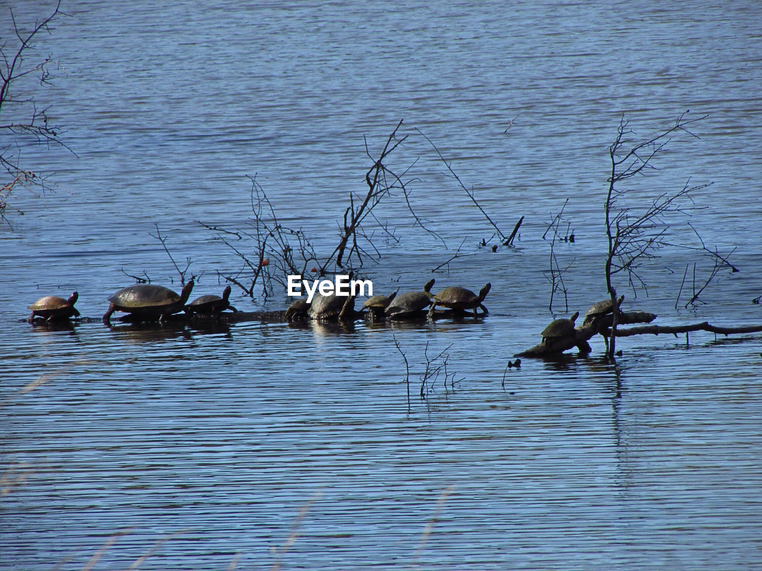 Turtles on driftwood amidst lake