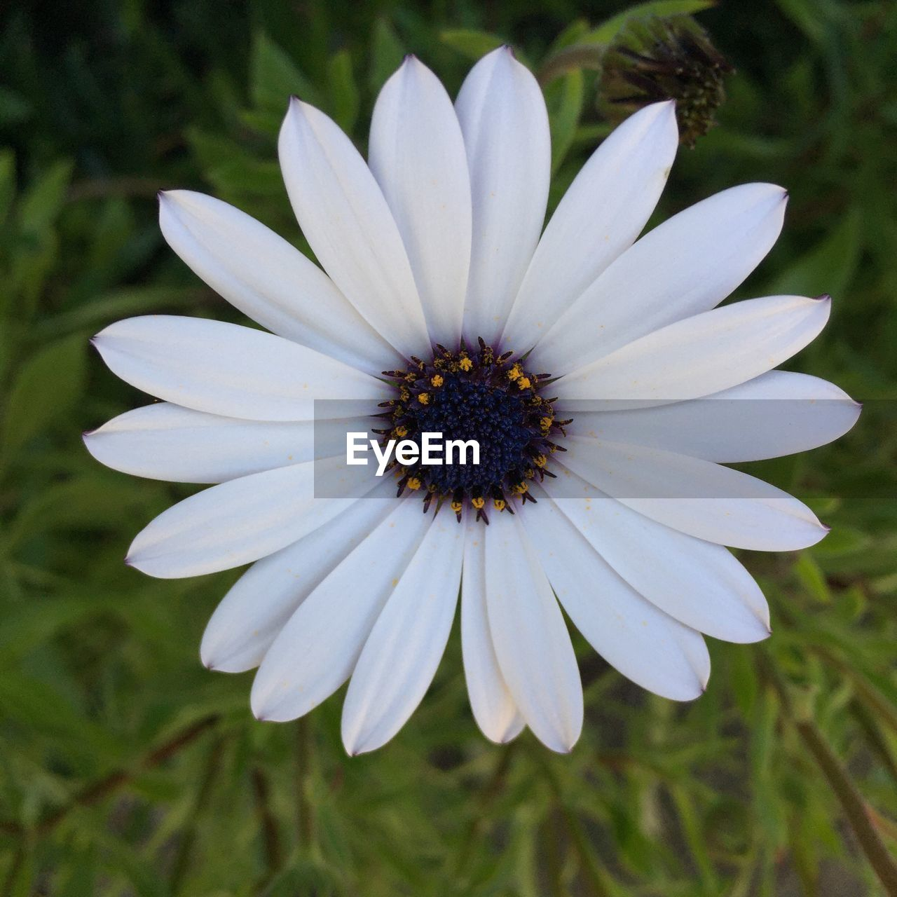 flowering plant, flower, fragility, vulnerability, freshness, plant, petal, flower head, inflorescence, beauty in nature, growth, close-up, focus on foreground, white color, pollen, nature, no people, osteospermum, day, gazania