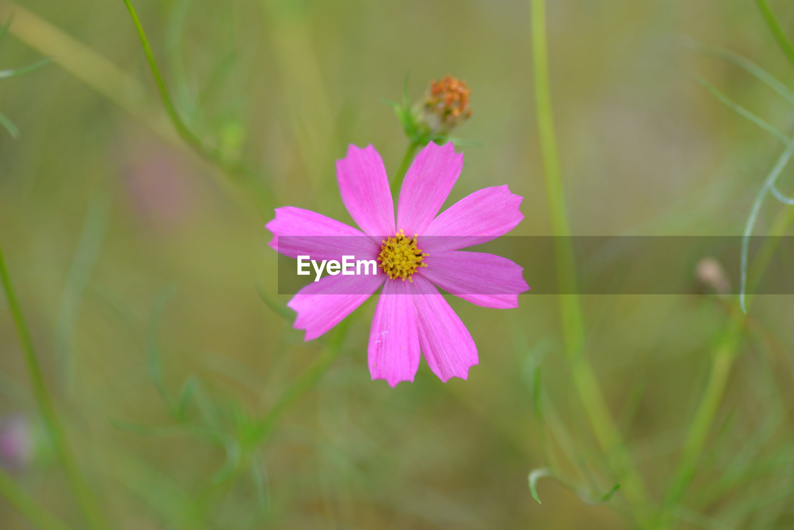CLOSE-UP OF PINK COSMOS PURPLE FLOWER