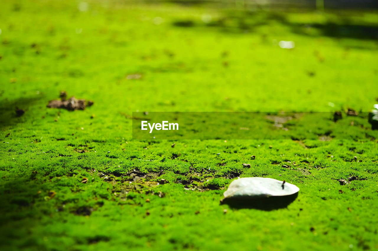 green color, grass, plant, nature, selective focus, day, no people, water, moss, leaf, plant part, land, outdoors, field, growth, lake, tranquility, beauty in nature, algae, swamp, leaves