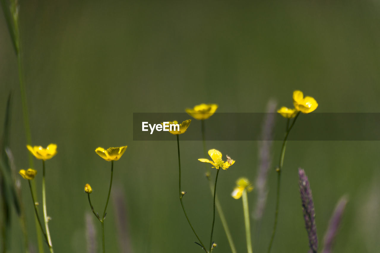CLOSE-UP OF YELLOW FLOWERING PLANT GROWING IN FIELD