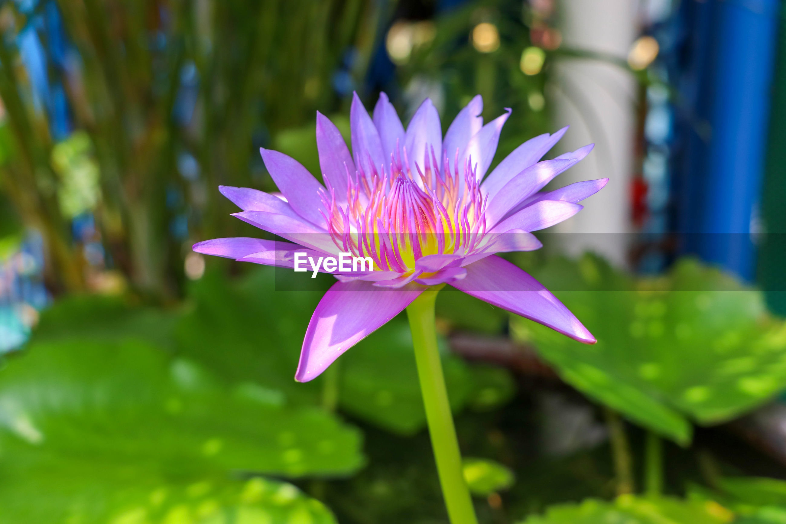 CLOSE-UP OF PINK WATER LILY IN PURPLE LOTUS