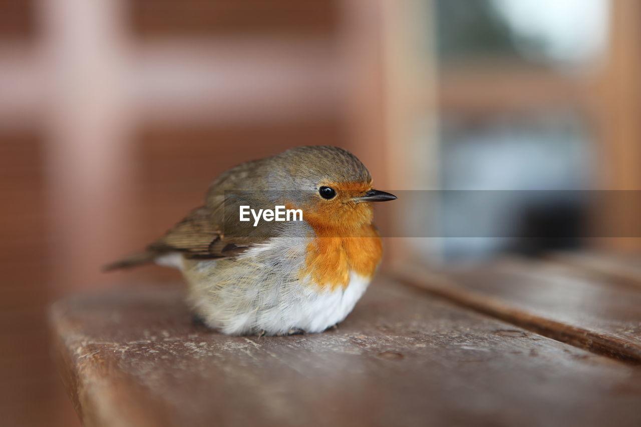 Close-Up Of European Robin