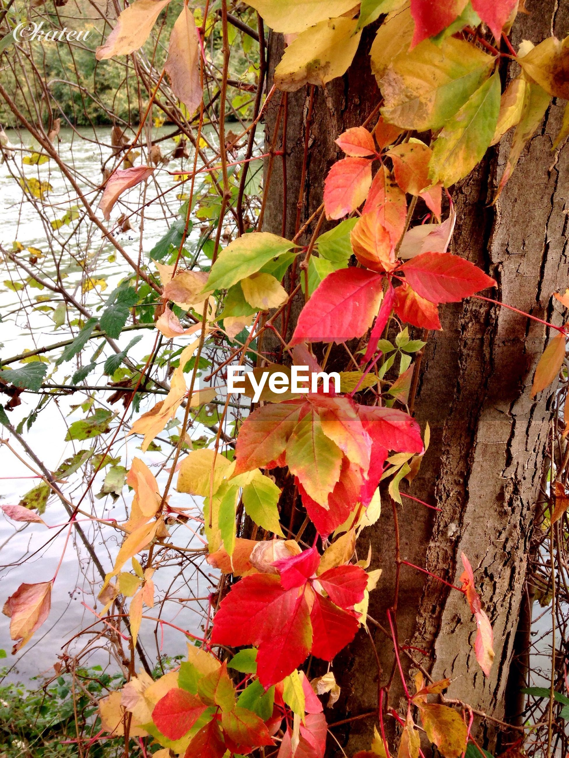 leaf, autumn, growth, tree, branch, change, nature, red, season, beauty in nature, plant, day, tranquility, leaves, tree trunk, outdoors, no people, low angle view, close-up, sunlight