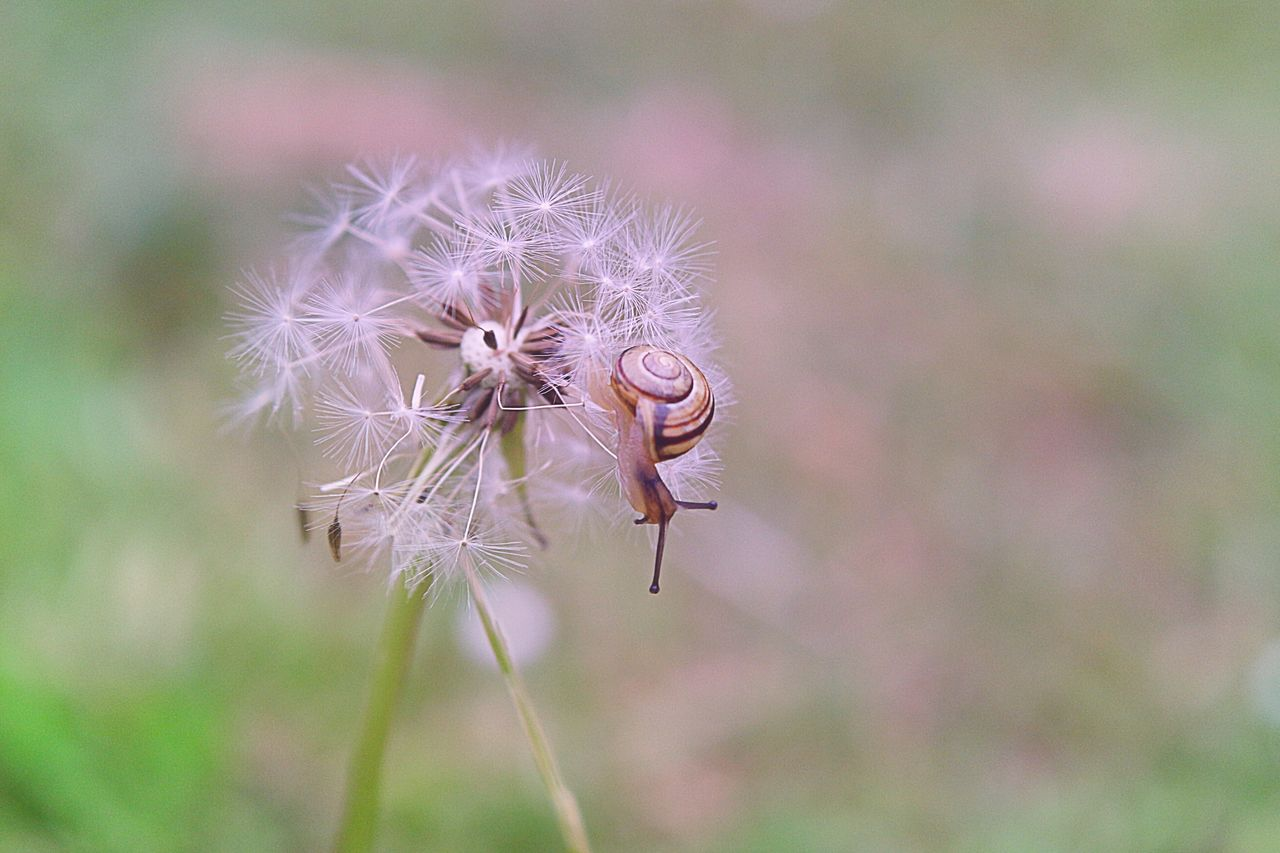 flower, dandelion, fragility, focus on foreground, close-up, flower head, nature, softness, no people, uncultivated, day, plant, growth, outdoors, beauty in nature, thistle, freshness