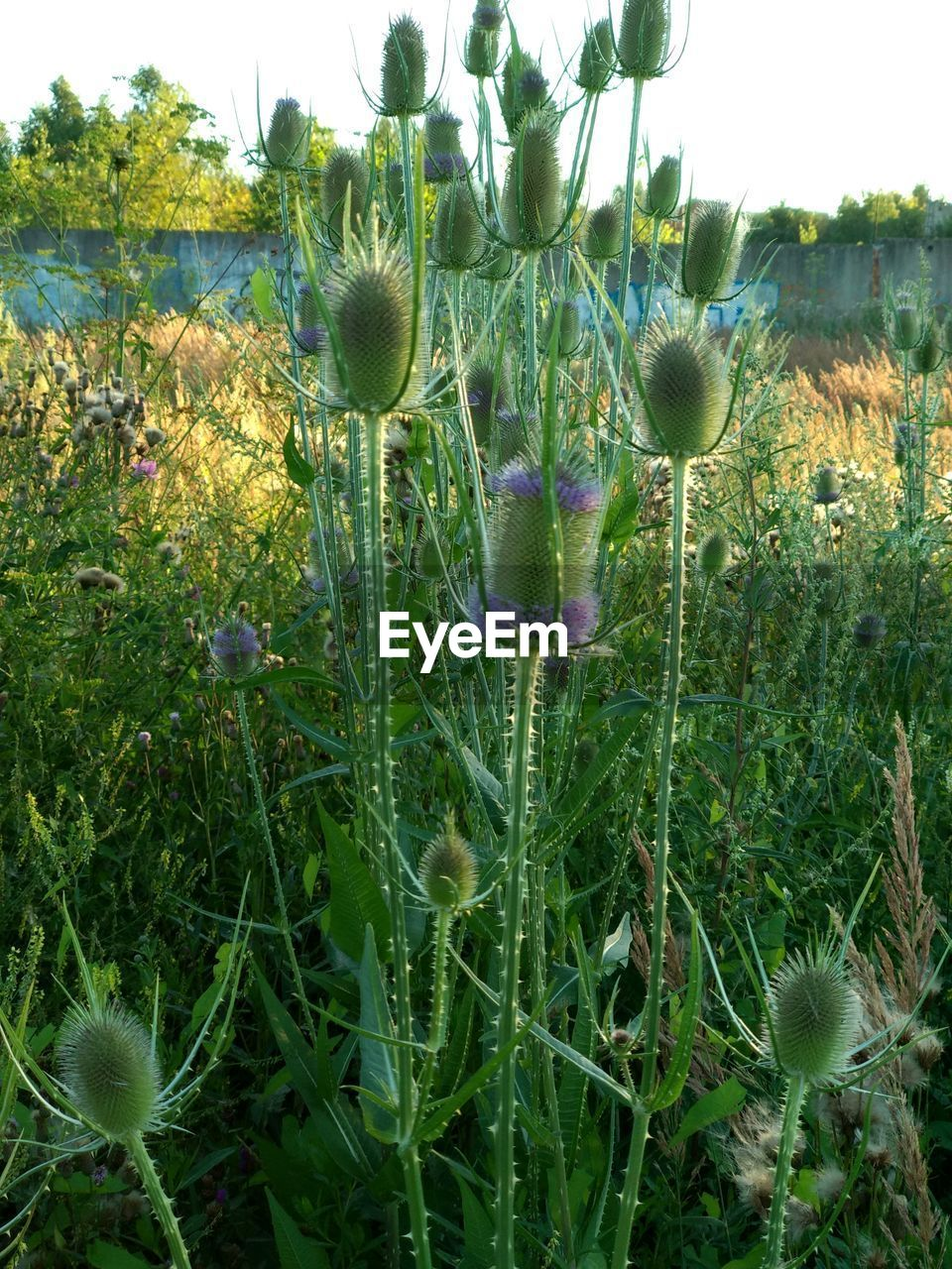 plant, growth, green color, beauty in nature, flower, nature, flowering plant, field, land, no people, freshness, day, close-up, fragility, vulnerability, tranquility, grass, outdoors, plant stem, sky, flower head, purple
