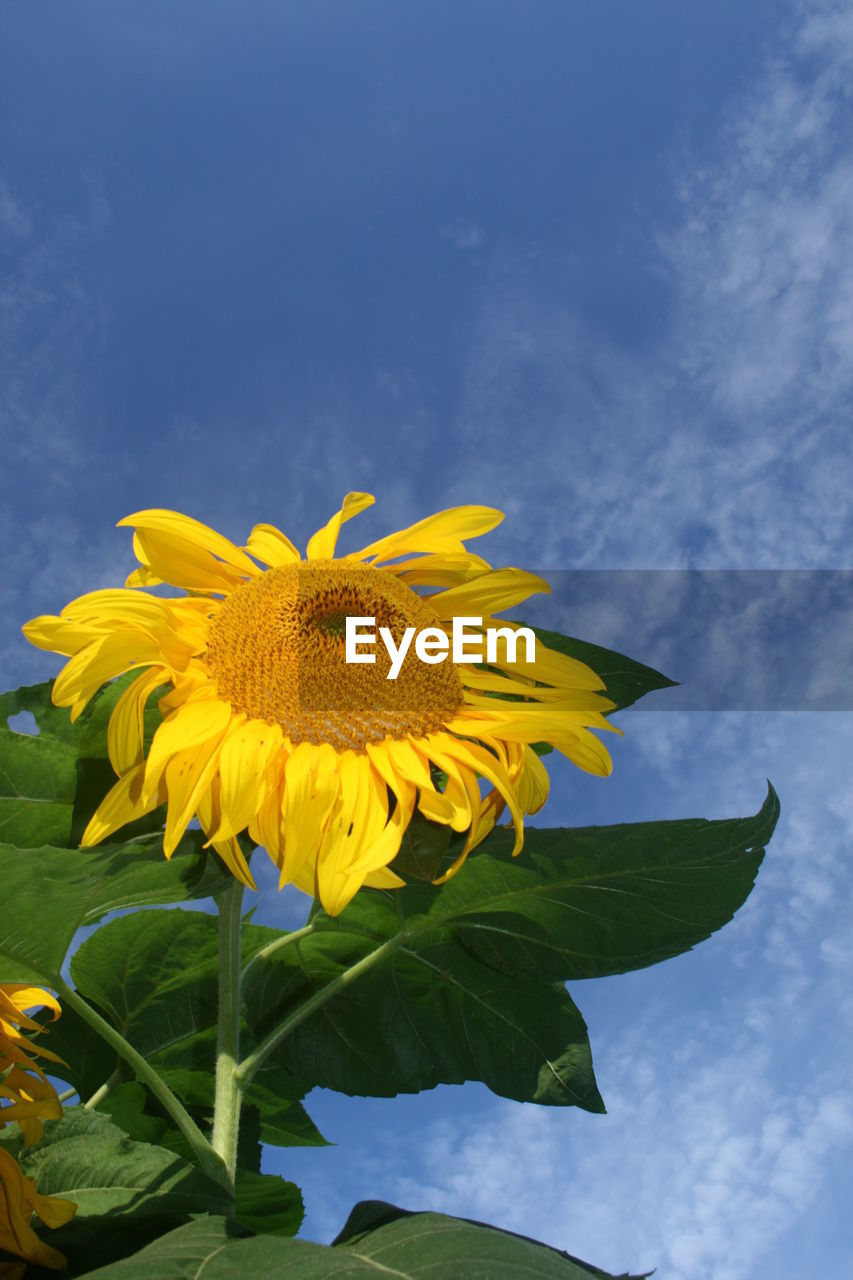 flower, yellow, petal, fragility, freshness, beauty in nature, flower head, nature, no people, sunflower, leaf, outdoors, blooming, growth, day, pollen, plant, close-up, springtime, sky