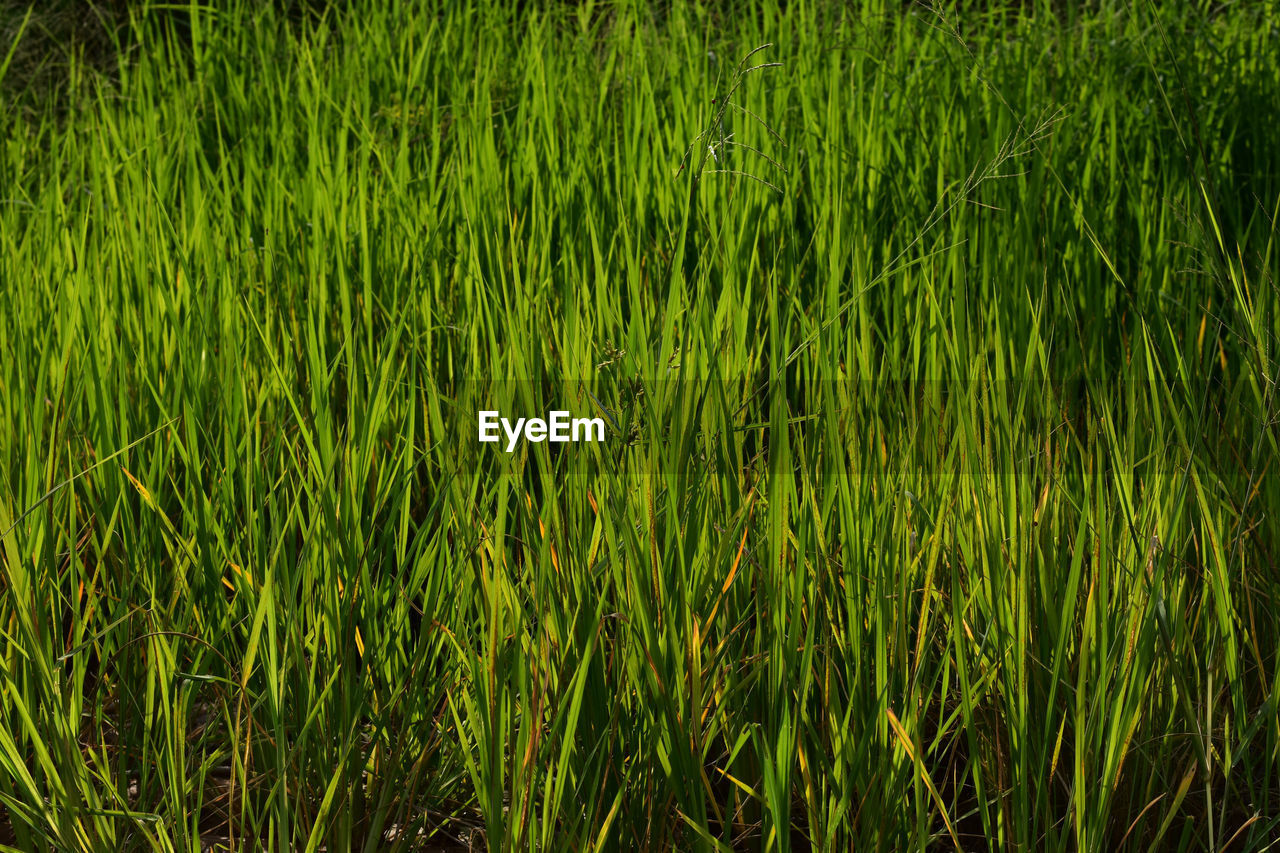 plant, growth, green color, grass, nature, tranquility, full frame, beauty in nature, land, field, backgrounds, no people, outdoors, water, agriculture, foliage, lush foliage, rural scene, landscape, tranquil scene, bamboo - plant