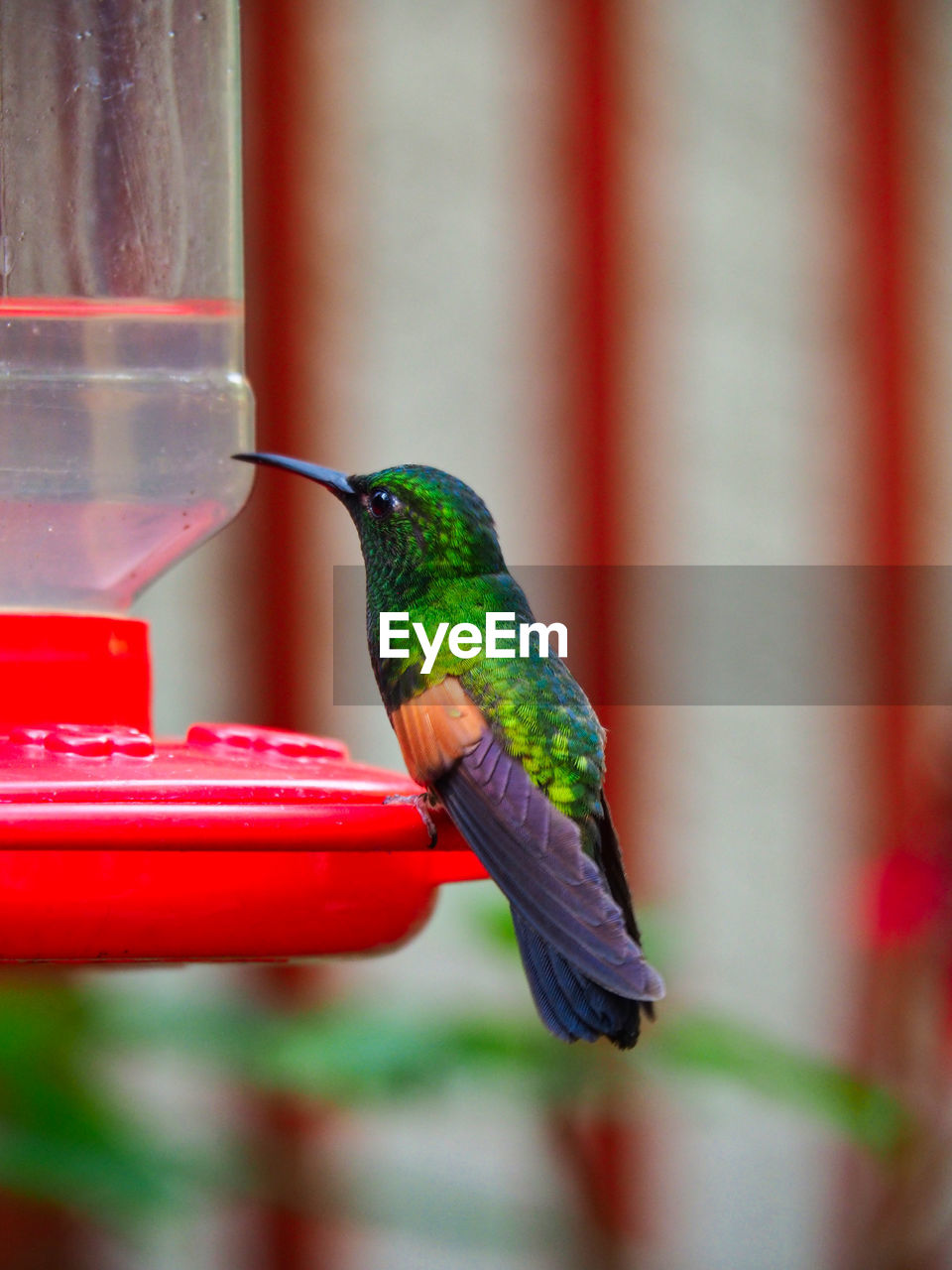 bird, vertebrate, hummingbird, animal themes, animals in the wild, animal, animal wildlife, one animal, red, focus on foreground, bird feeder, perching, close-up, day, no people, full length, green color, side view, beak, outdoors