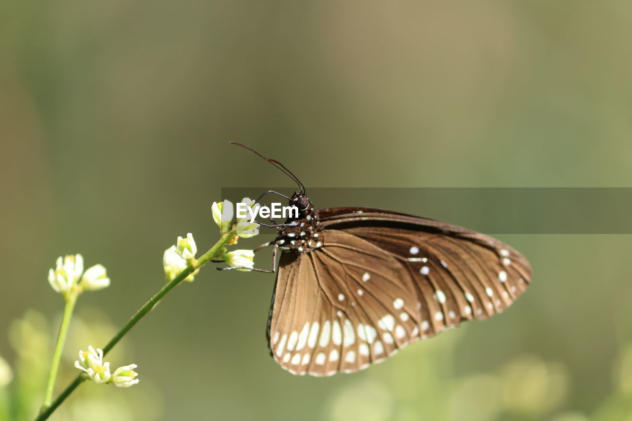 invertebrate, insect, animal wildlife, animal themes, animal, animal wing, one animal, animals in the wild, flower, plant, butterfly - insect, flowering plant, close-up, beauty in nature, fragility, vulnerability, focus on foreground, nature, no people, day, pollination, butterfly, outdoors, flower head