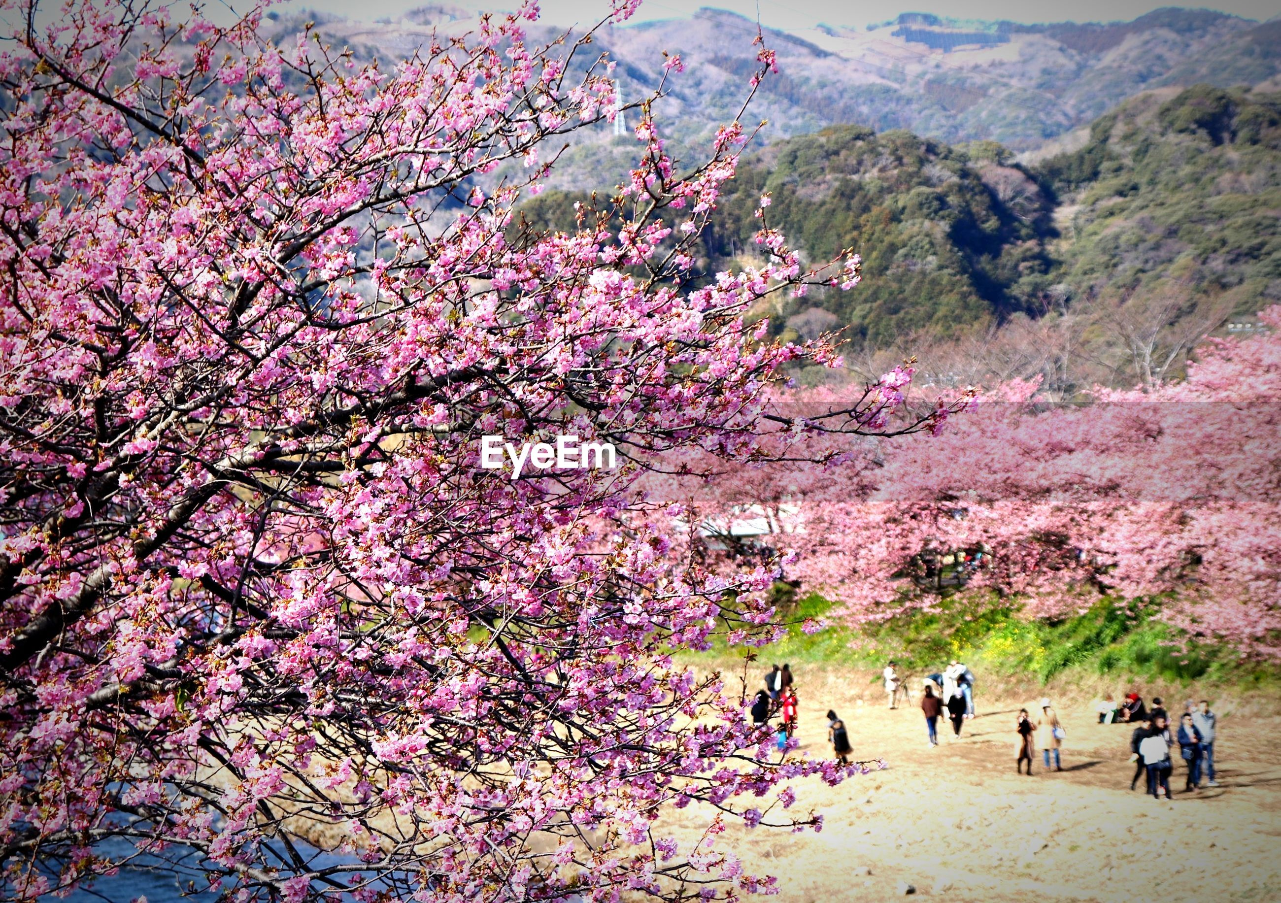 tree, cherry blossom, blossom, cherry tree, beauty in nature, flower, nature, springtime, growth, pink color, branch, fragility, real people, outdoors, day, freshness, scenics, men, sky, people