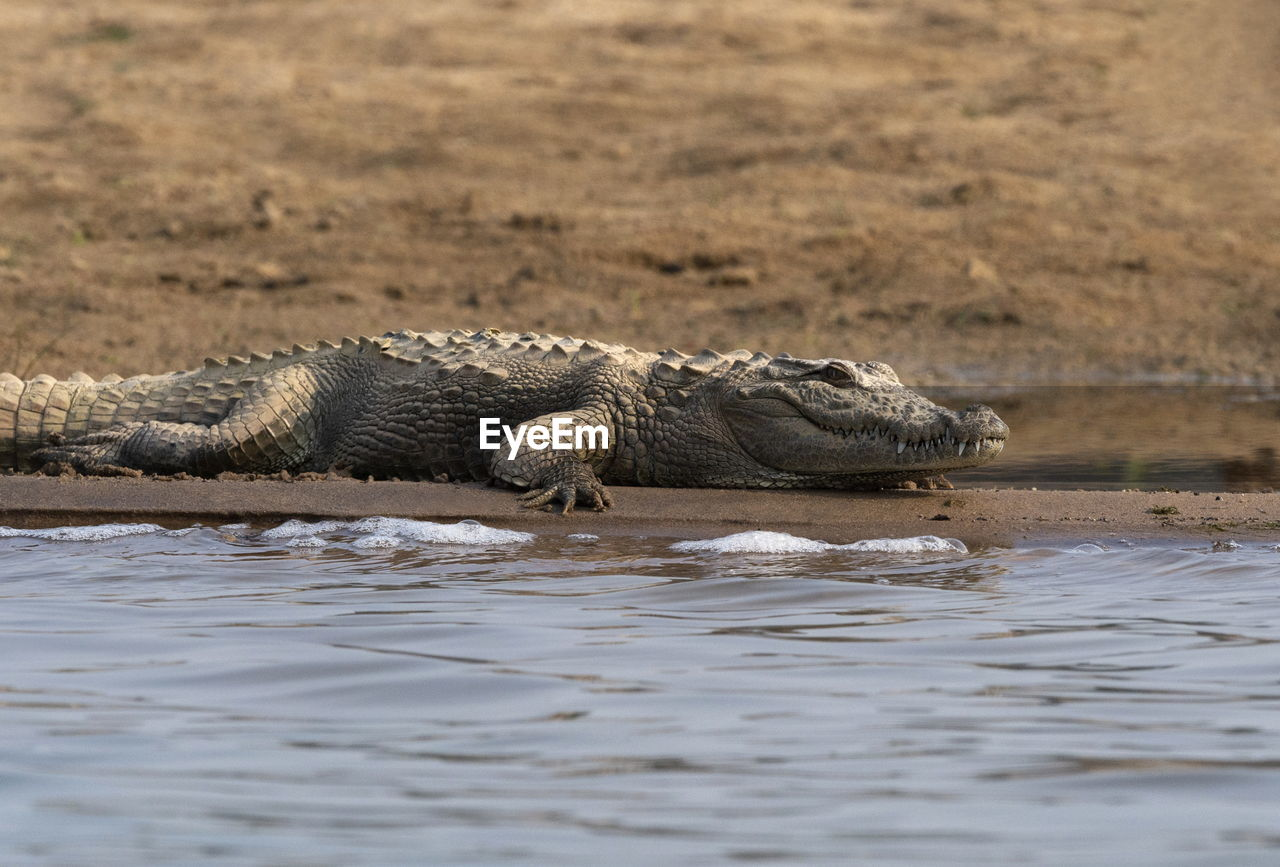 animal wildlife, animal themes, animals in the wild, animal, one animal, reptile, water, vertebrate, crocodile, nature, no people, relaxation, day, river, outdoors, selective focus, mammal, stealth