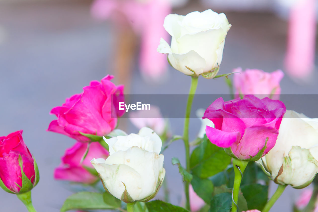 flower, petal, fragility, beauty in nature, flower head, nature, freshness, rose - flower, pink color, plant, blooming, growth, white color, close-up, outdoors, focus on foreground, day, no people