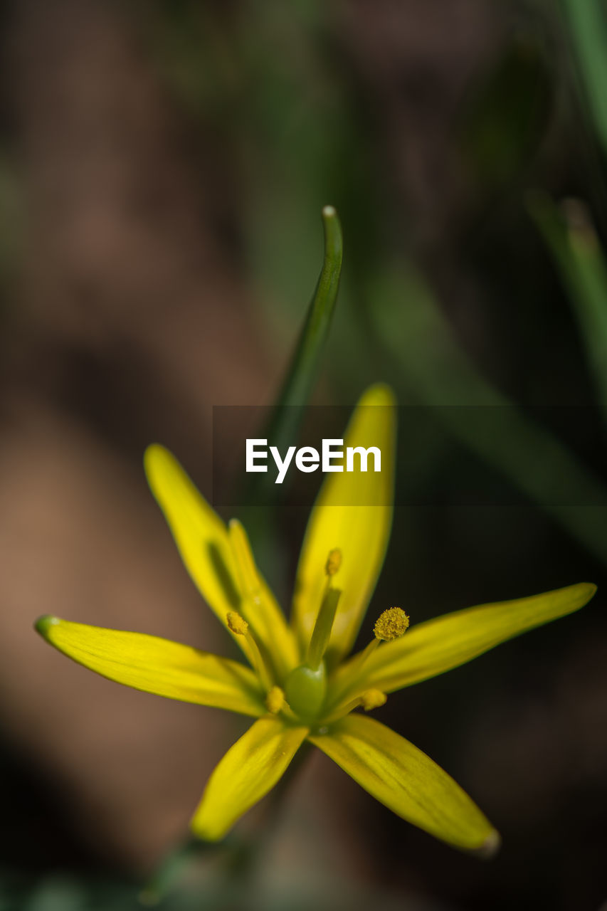 flower, growth, flowering plant, close-up, yellow, plant, fragility, freshness, beauty in nature, vulnerability, flower head, petal, focus on foreground, inflorescence, no people, day, selective focus, nature, green color, bud, outdoors, pollen, sepal