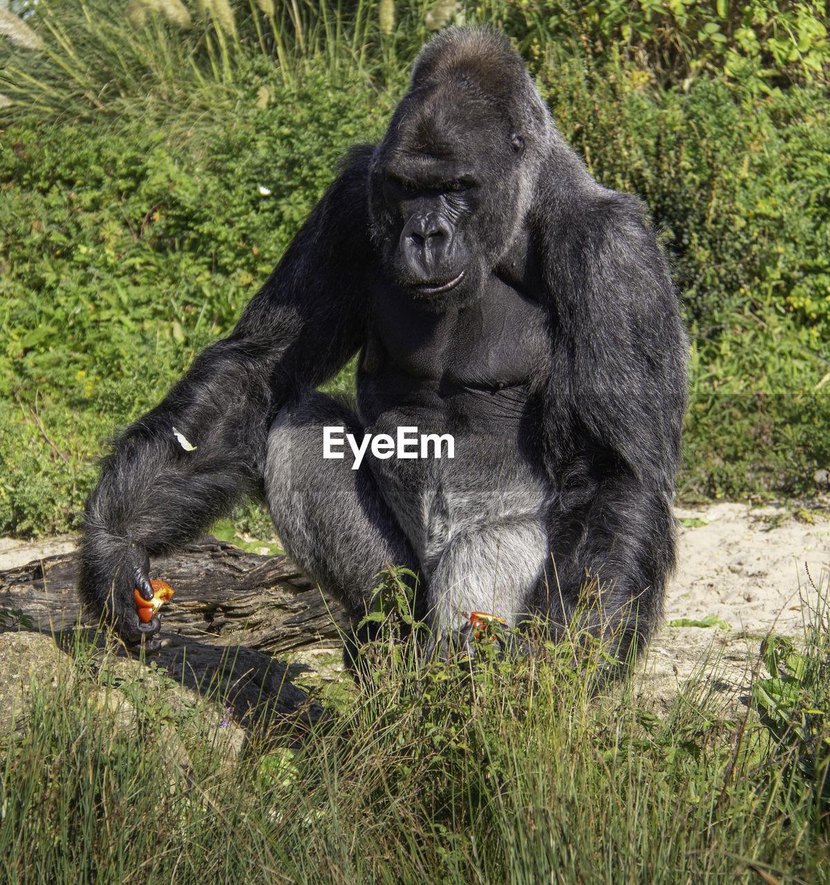primate, mammal, animal wildlife, ape, grass, animals in the wild, plant, nature, no people, gorilla, sitting, day, vertebrate, one animal, full length, outdoors