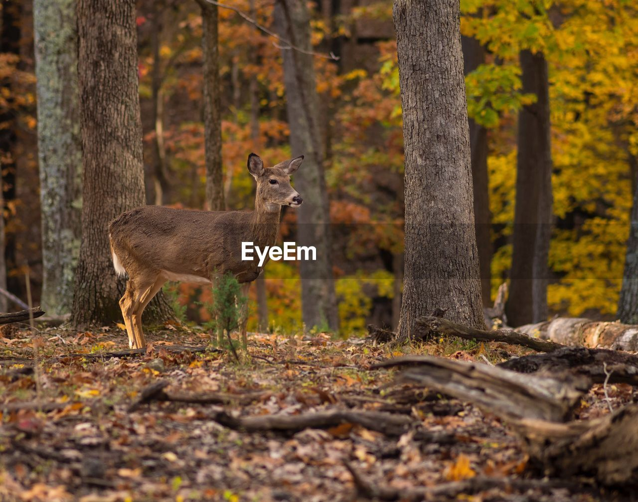 animal themes, tree, animal, forest, animal wildlife, one animal, animals in the wild, standing, land, mammal, deer, tree trunk, trunk, plant, nature, autumn, day, no people, vertebrate, outdoors, woodland, herbivorous, change