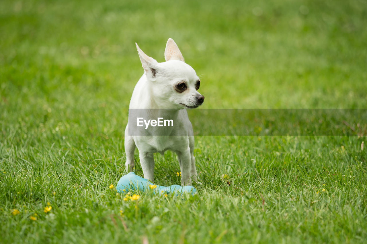 one animal, animal themes, mammal, pets, animal, domestic, grass, domestic animals, dog, canine, plant, field, green color, vertebrate, land, no people, nature, selective focus, running, day, small
