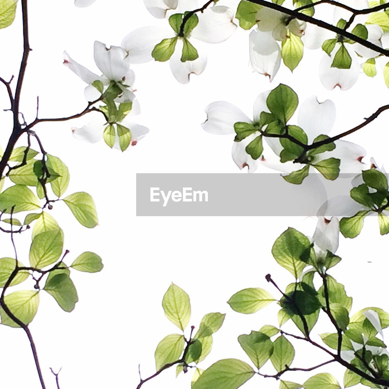 leaf, flower, growth, white color, nature, plant, beauty in nature, branch, fragility, freshness, white background, petal, no people, green color, clear sky, day, flower head, close-up, tree, outdoors