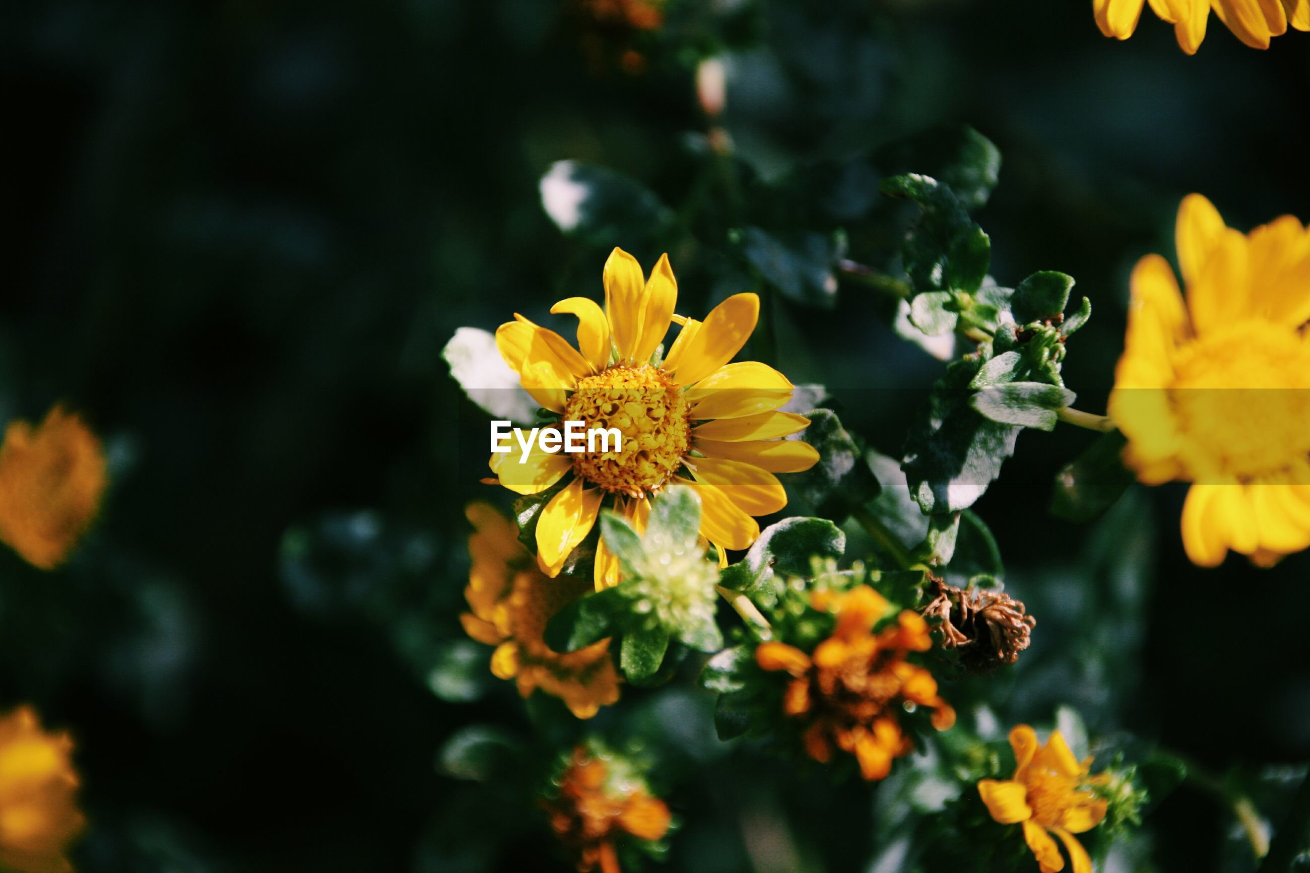 flower, petal, yellow, freshness, flower head, fragility, growth, blooming, beauty in nature, close-up, focus on foreground, pollen, plant, nature, in bloom, blossom, selective focus, outdoors, day, springtime