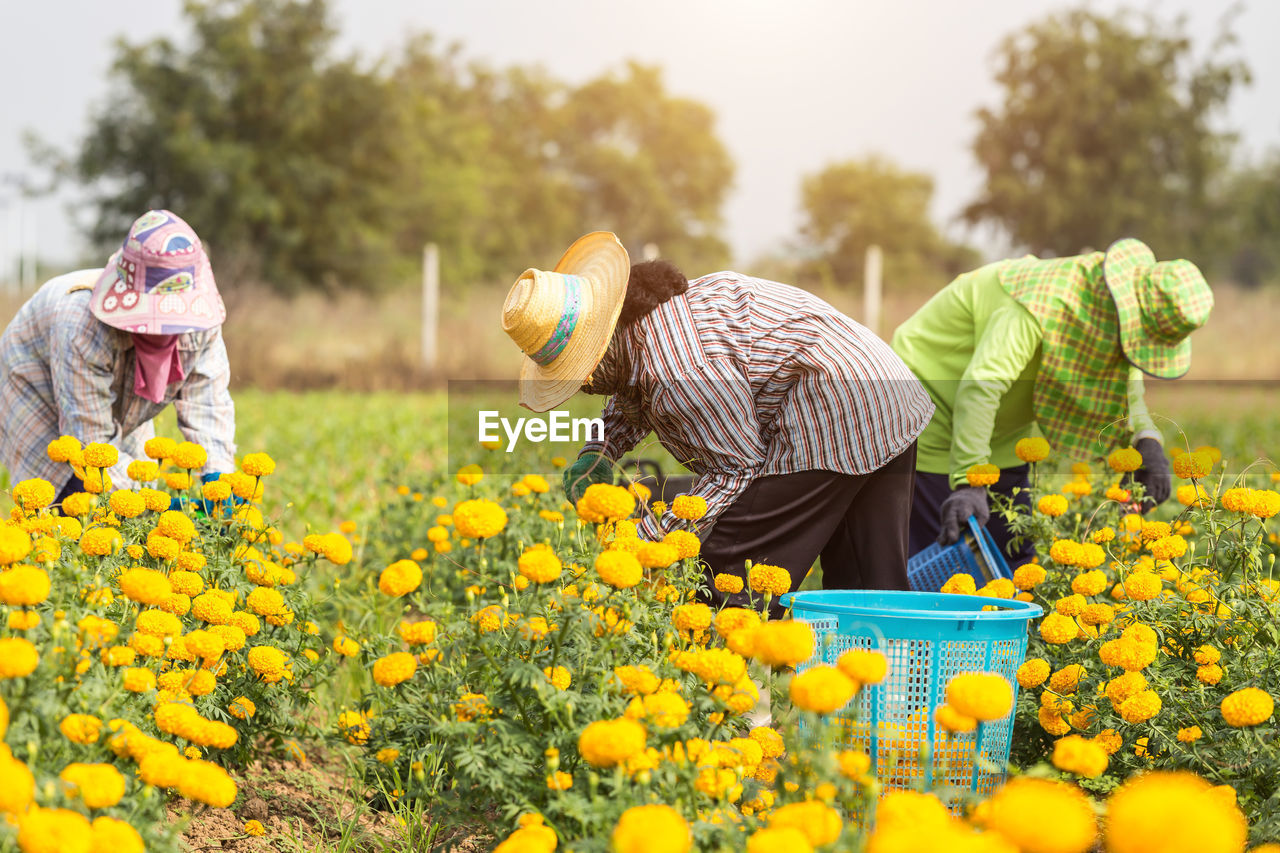 growth, flower, plant, flowering plant, yellow, beauty in nature, real people, field, working, agriculture, men, freshness, nature, adult, women, occupation, togetherness, two people, land, hat, farmer, outdoors, gardening