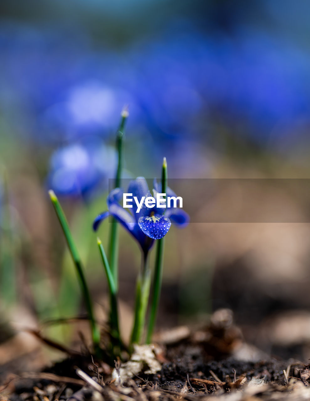 flowering plant, flower, fragility, vulnerability, freshness, plant, beauty in nature, nature, close-up, growth, field, purple, land, selective focus, no people, day, flower head, blue, inflorescence, petal, iris, crocus, outdoors