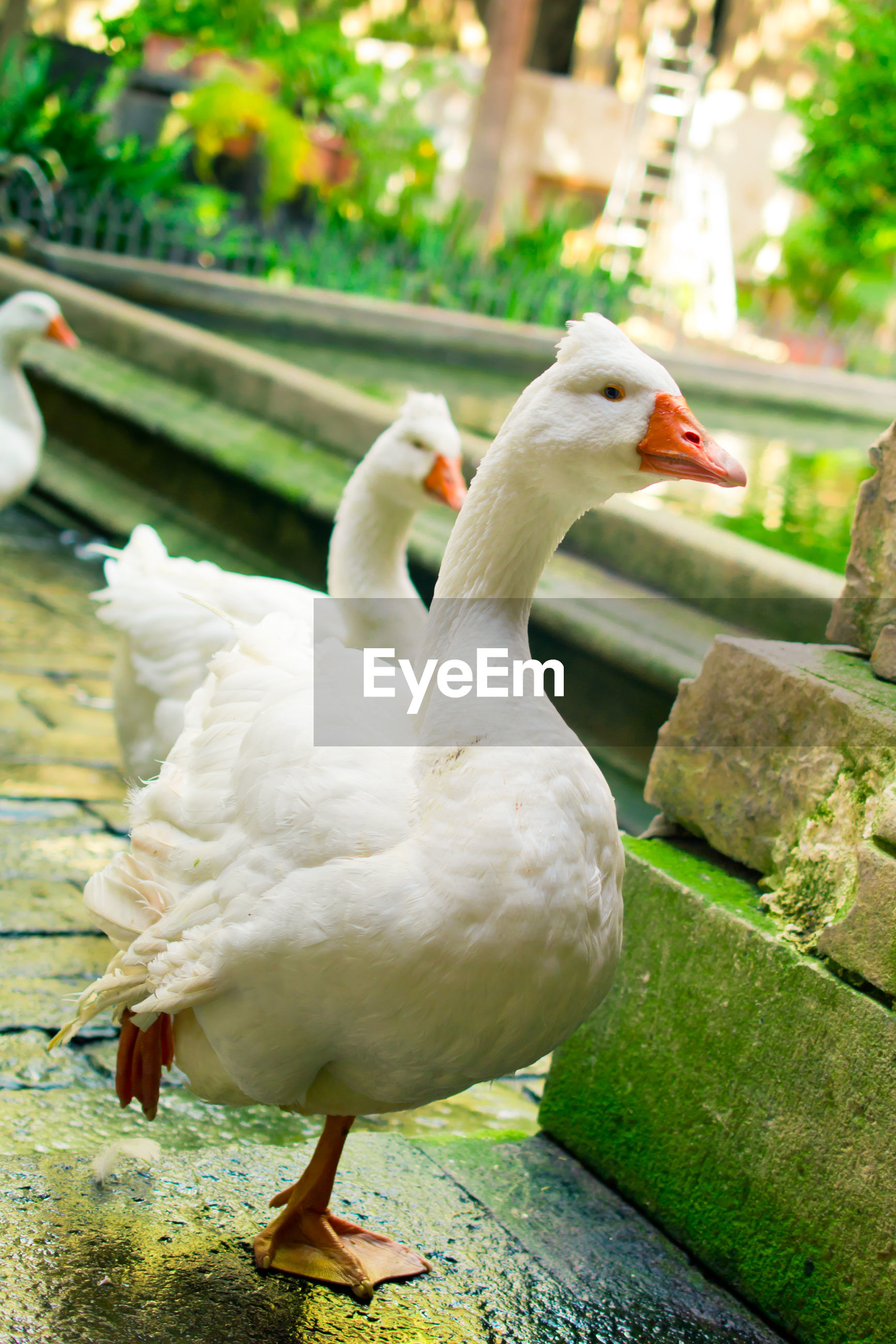 Close-up of geese on footpath