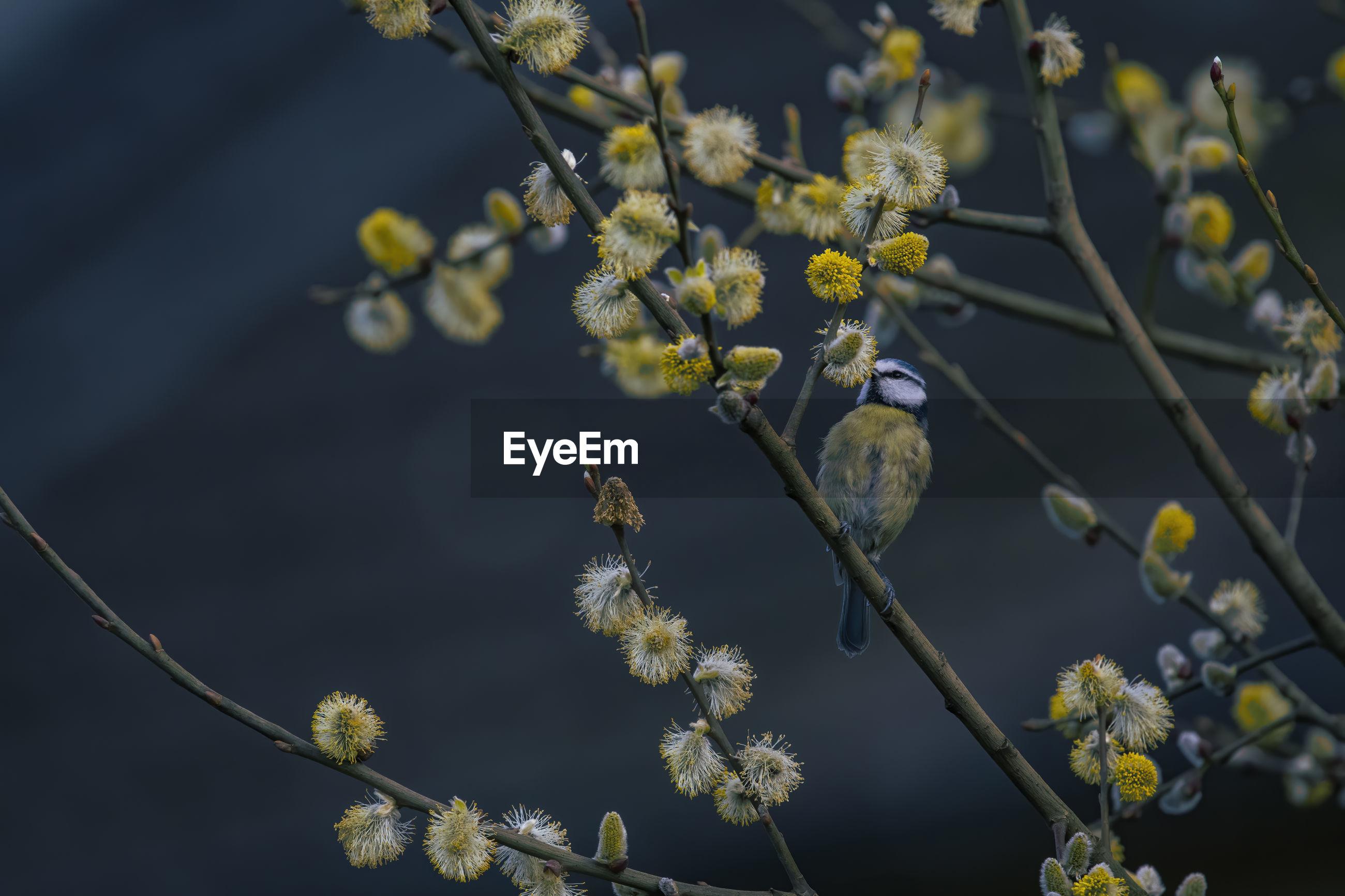 Eurasian bluetit on branch