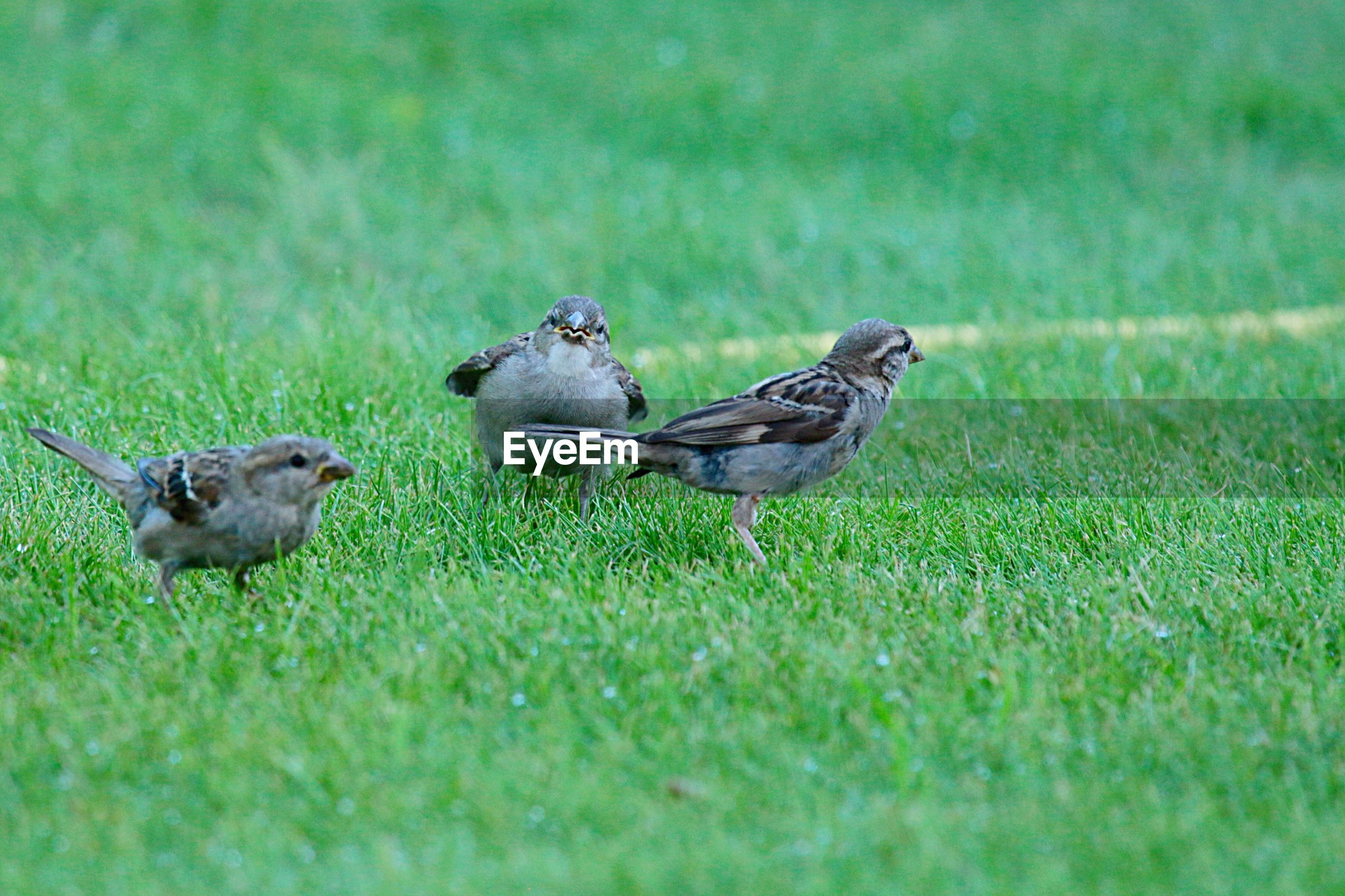 Three sparrows on green grass