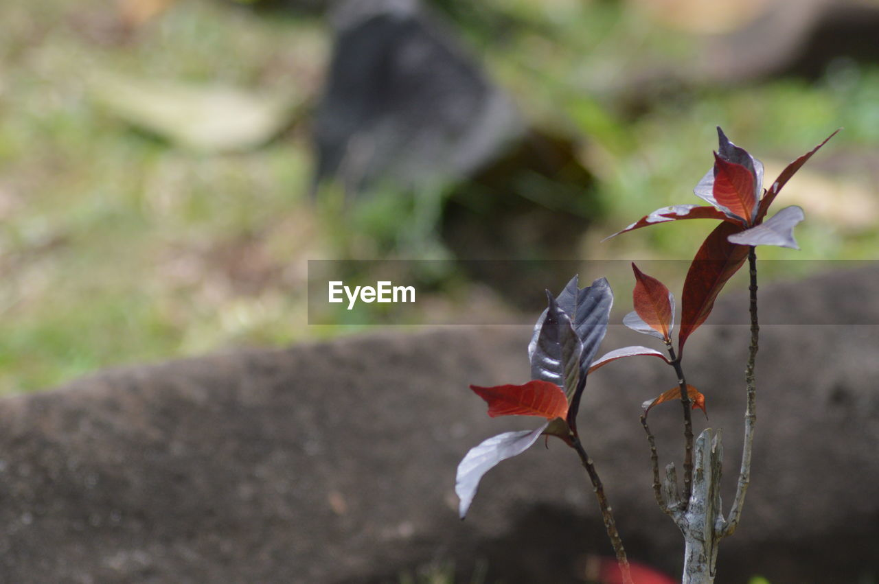 plant, beauty in nature, close-up, flower, flowering plant, fragility, focus on foreground, vulnerability, growth, red, freshness, nature, petal, day, no people, inflorescence, outdoors, field, flower head, selective focus