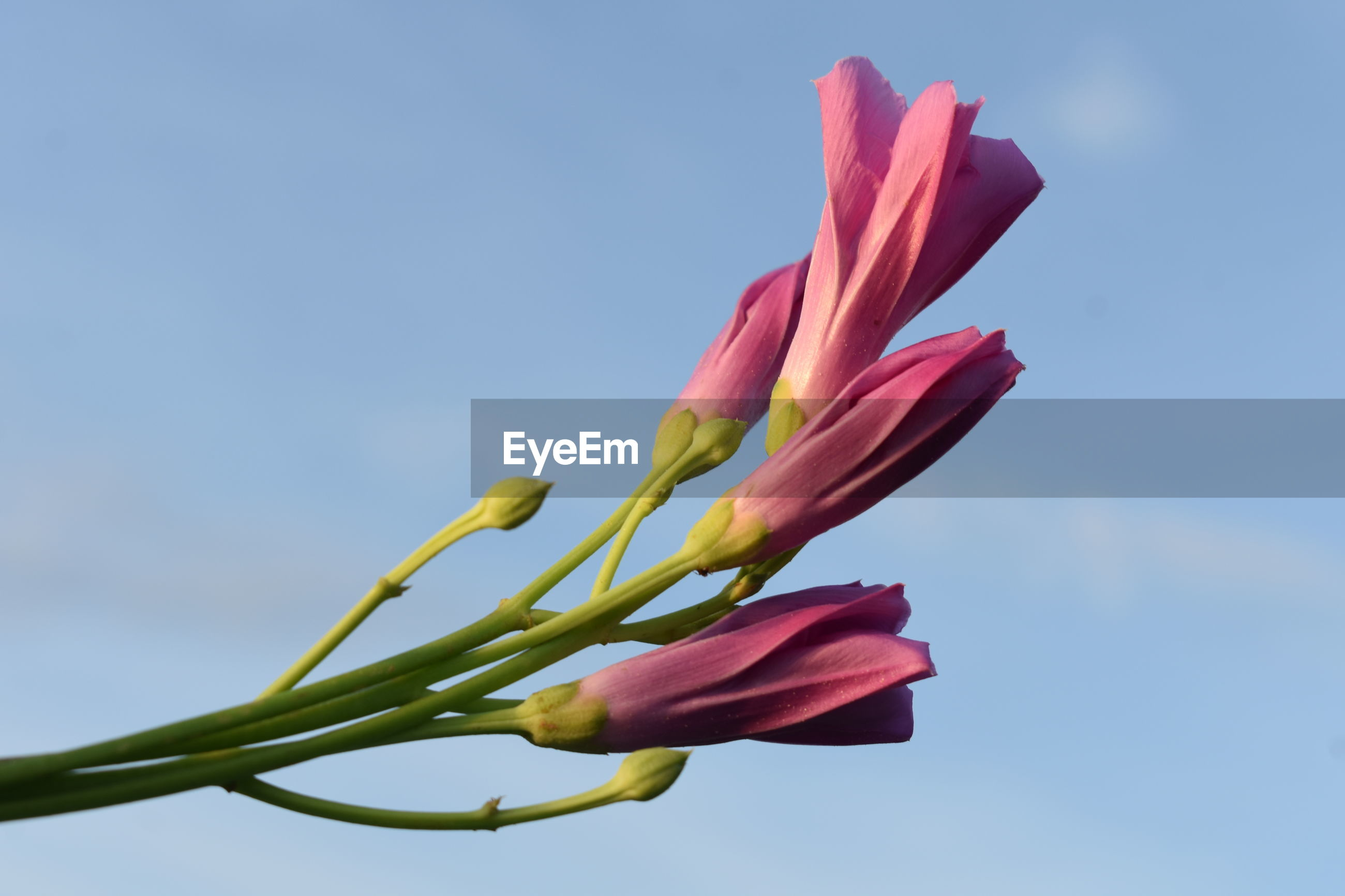 CLOSE-UP OF PINK FLOWER PLANT AGAINST SKY