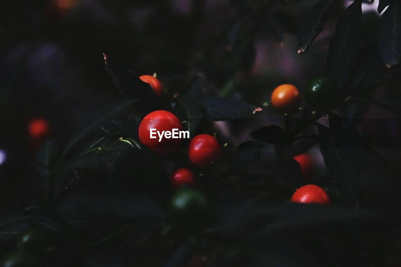 red, fruit, food and drink, tree, growth, food, freshness, outdoors, no people, close-up, branch, nature, healthy eating, day
