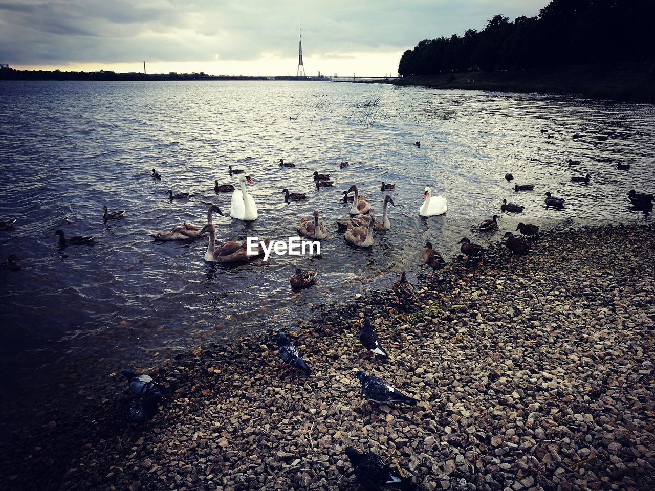 nature, water, beauty in nature, lake, tranquility, no people, beach, sky, outdoors, large group of animals, scenics, day, animal themes, swan, pebble beach