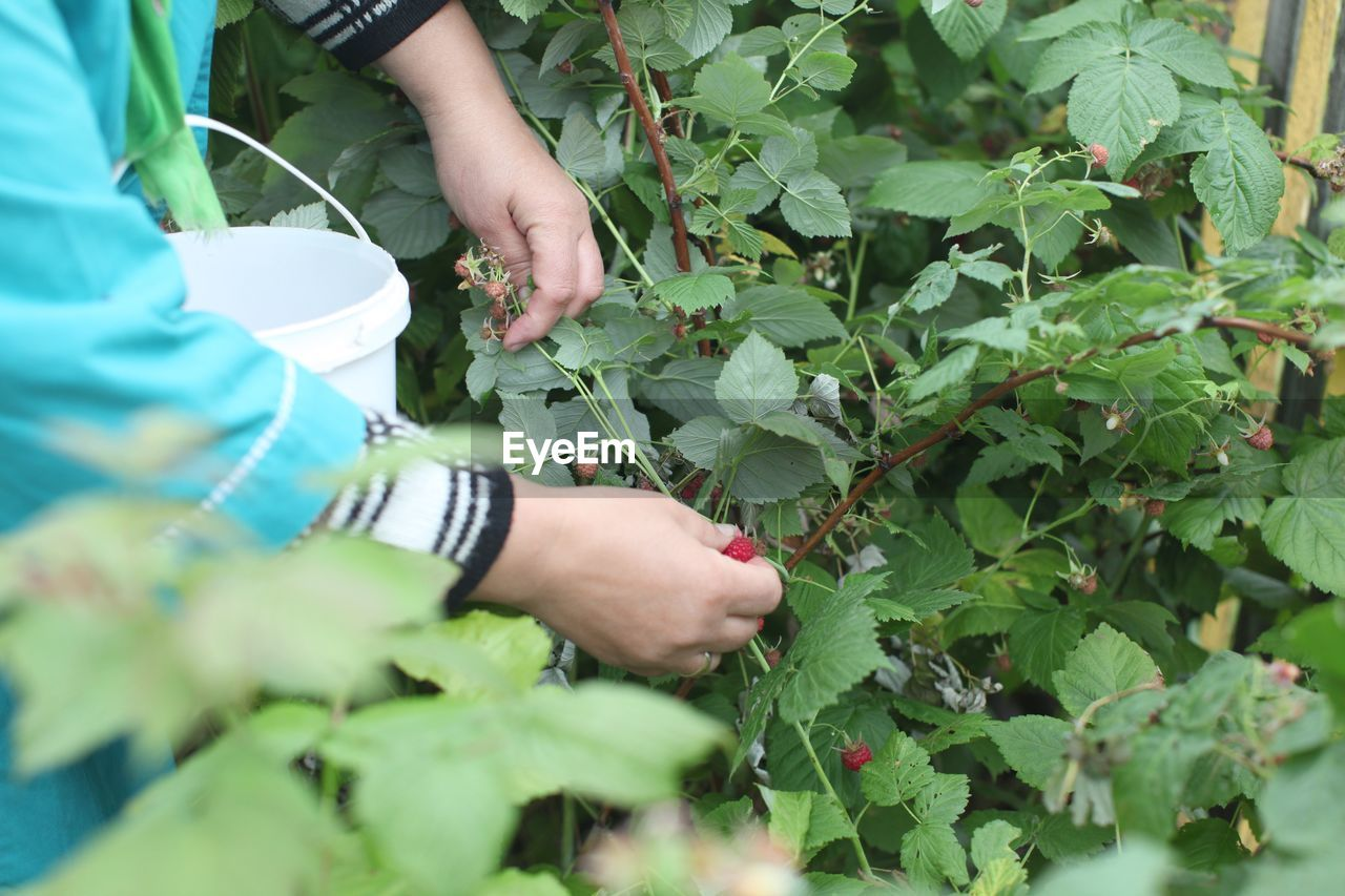 Midsection Of Woman Harvesting Fruits