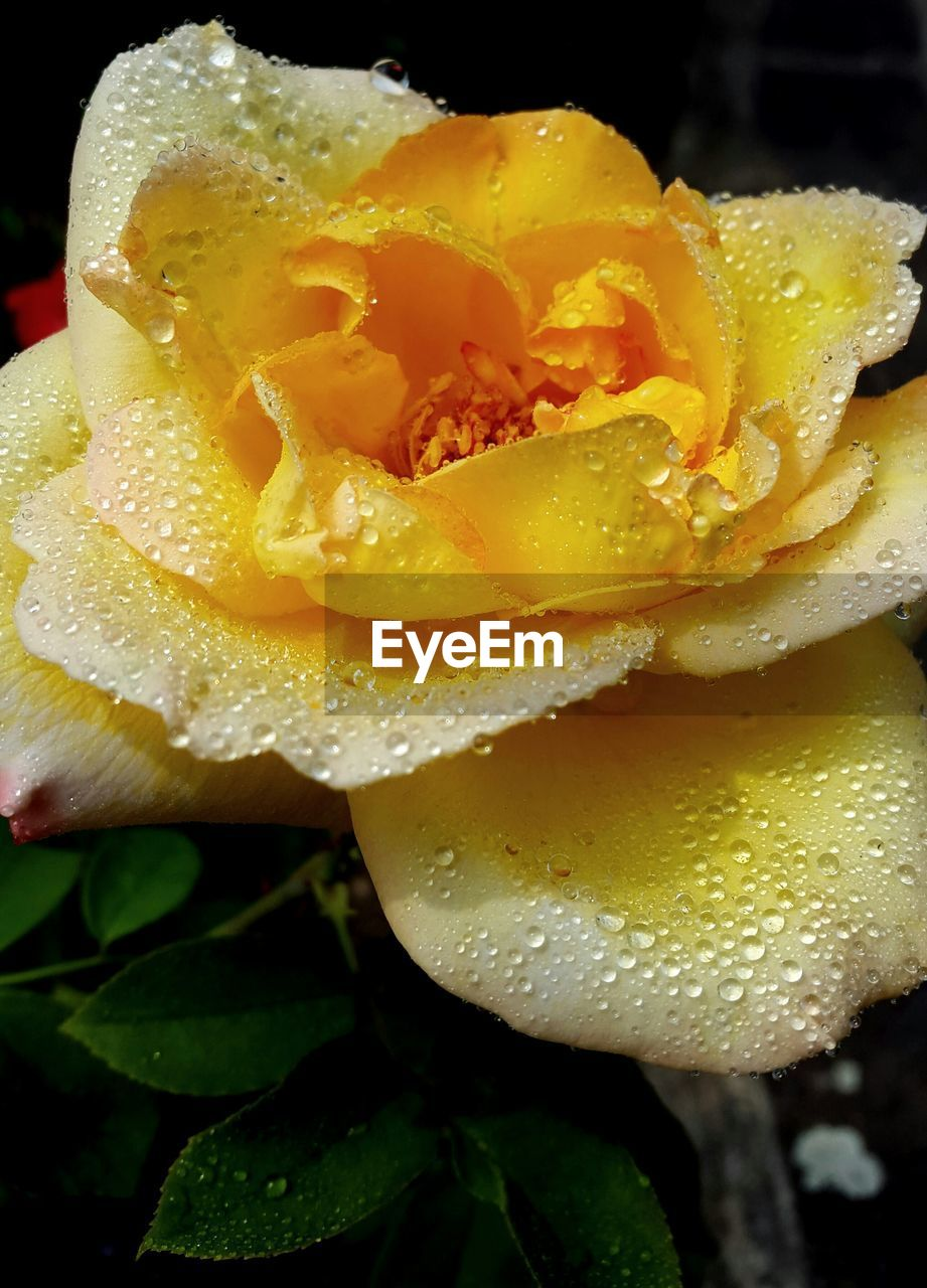 Close-Up Of Wet Yellow Rose Blooming Indoors