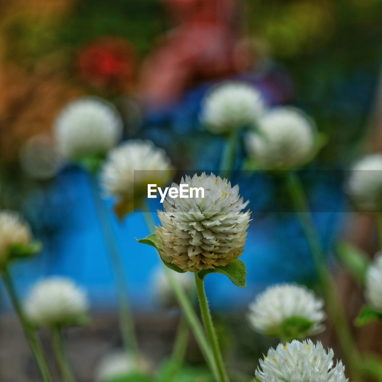 flower, flowering plant, fragility, vulnerability, beauty in nature, freshness, plant, growth, flower head, close-up, inflorescence, focus on foreground, petal, nature, day, no people, selective focus, plant stem, botany, white color