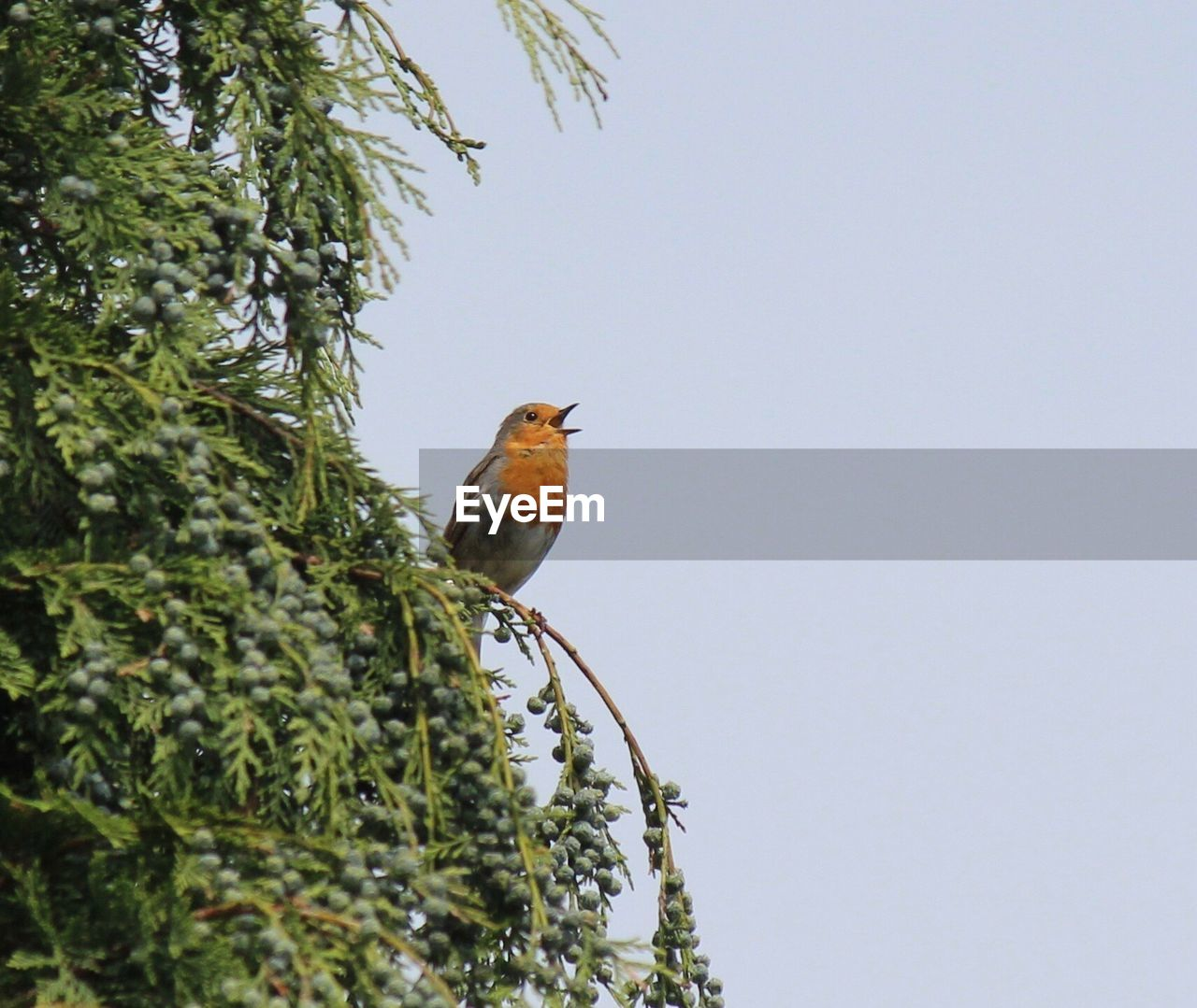 Low Angle View Of Robin Perching On Tree Against Clear Sky