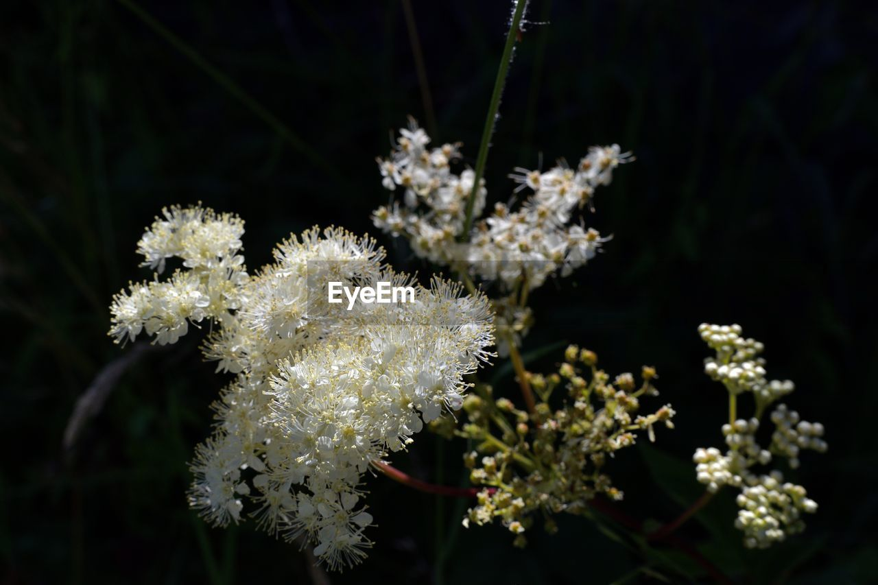 flower, plant, flowering plant, fragility, vulnerability, beauty in nature, growth, freshness, close-up, white color, focus on foreground, nature, no people, day, flower head, inflorescence, outdoors, petal, selective focus, winter