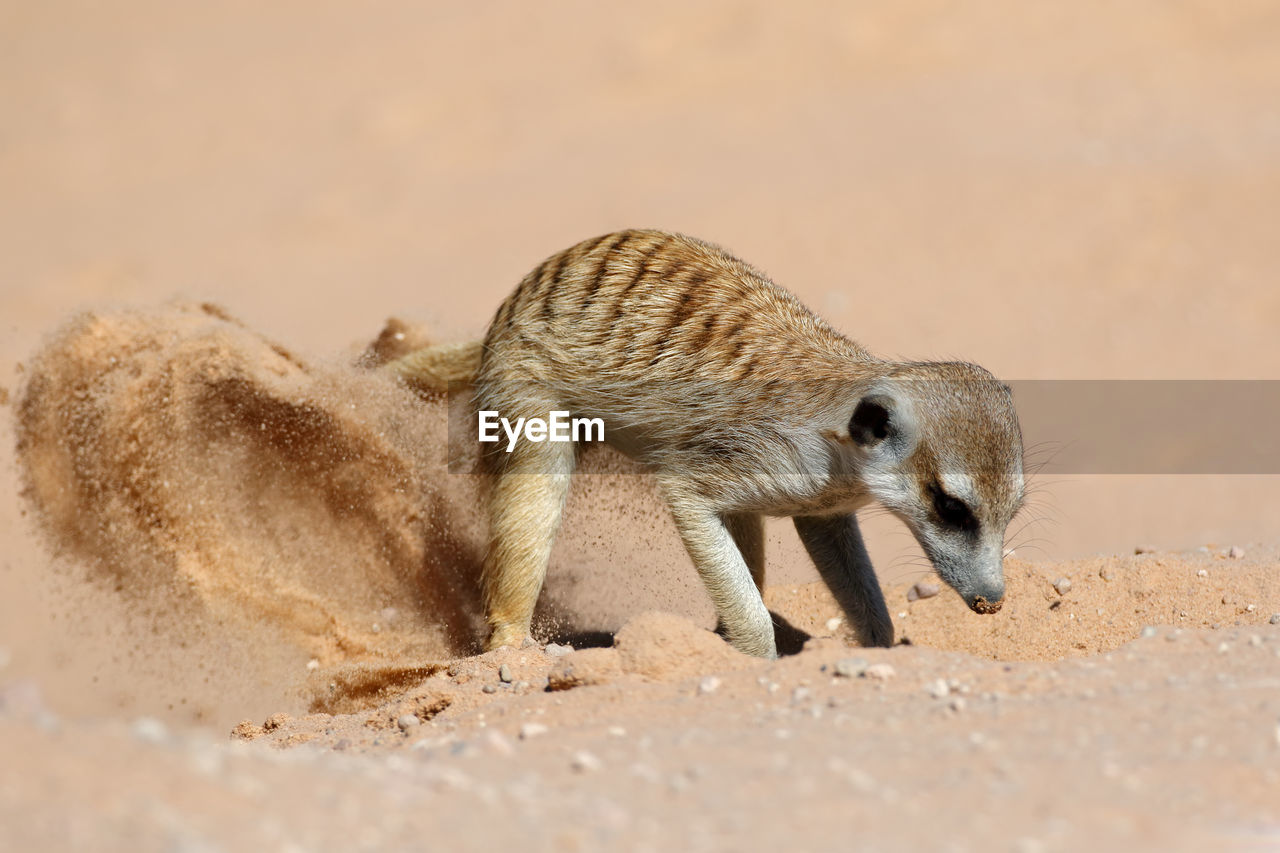 animal, one animal, animal themes, animal wildlife, animals in the wild, sand, land, vertebrate, no people, mammal, day, nature, meerkat, selective focus, close-up, brown, sunlight, beach, zoology, outdoors, arid climate