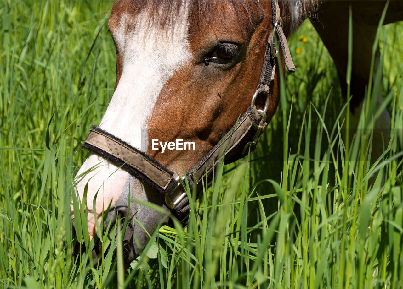 Close-Up Of A Grazing Horse