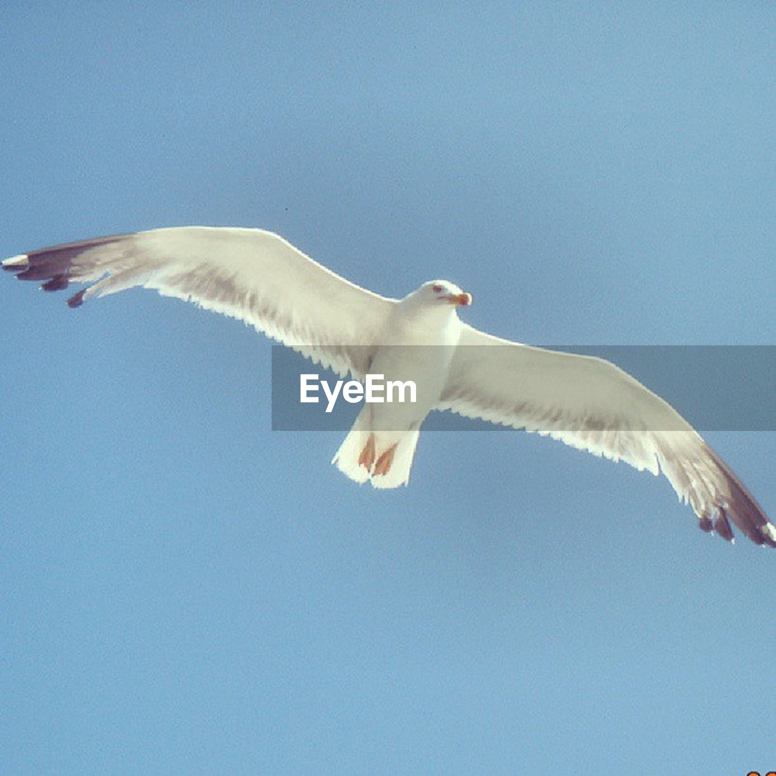 animal themes, bird, one animal, clear sky, seagull, spread wings, low angle view, flying, copy space, blue, animals in the wild, wildlife, white color, nature, mid-air, day, no people, sky, white, outdoors
