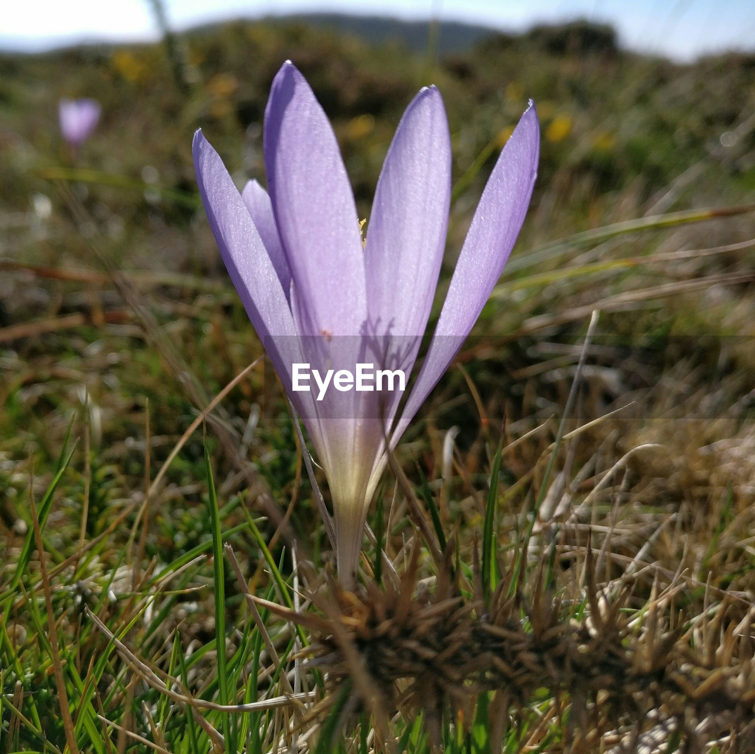 CLOSE-UP OF PURPLE FLOWER GROWING ON FIELD